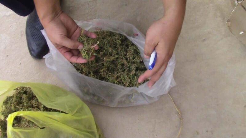 Түркістан облысынан 1,5 келіден астам марихуана тәркіленді